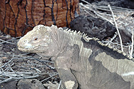 Land Iguana on Galápagos Islands