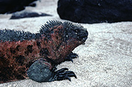 Marine Iguana on Galápagos Islands